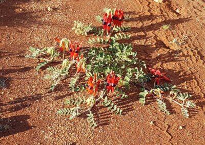 Stuart's Desert Pea wächst auf dem Gunbarrel Highway