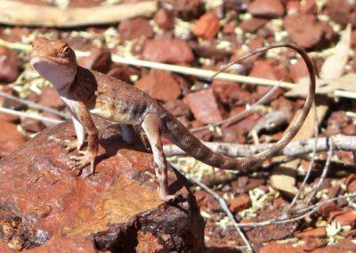 Australische Dracheneidechse