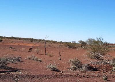 Ein Känguru in einer weiten Landschaft in der Nähe der Carnegie Station, 340 km östlich von Wiluna