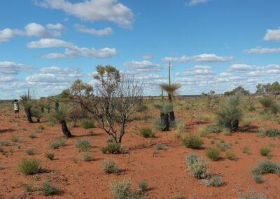 Grasbäume - Xanthorrhoea preissii - Heimisch in Westaustralien