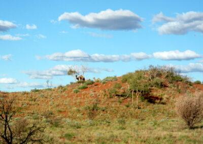 Kamel - Silhouette oben auf den Dünen auf dem Gunbarrel Highway