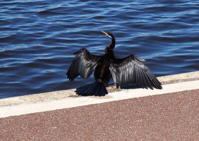 Langhalskormoran, der seine Federn am Swan River in Perth trocknet
