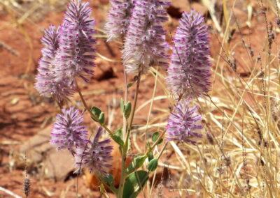 Einheimische Mulla-Mulla - Wildblumen - Pilbara