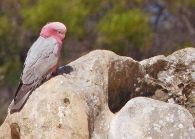 Rosa und graue Galah auf einem Gipfel, Pinnacle Desert