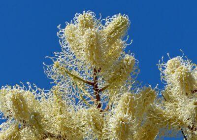 Weiße Feder Grevillea in Kalbarri NP, WA