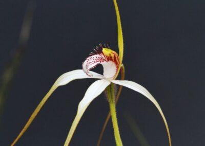 Weiße Spinnenorchidee Westaustralien