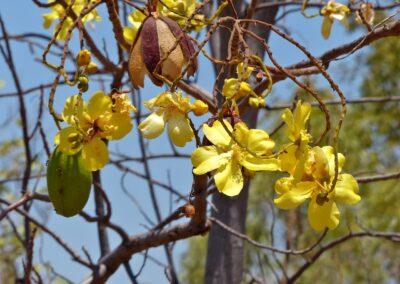 Blühender Kapokbaum in den Kimberleys