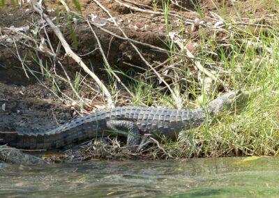 Süßwasserkrokodil, Ord Fluss, Kununurra