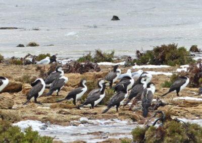 Weißbrustkormoran, Hamelin Pool